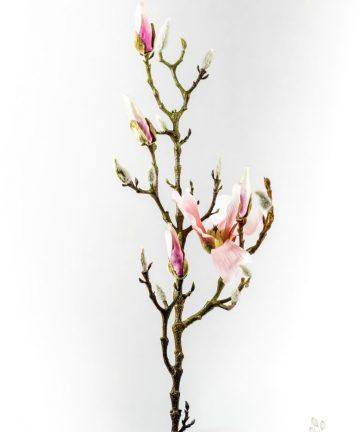 galaz-magnolii-s