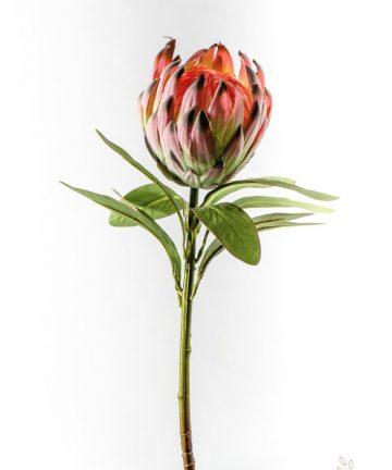kwiat-protea-krolewska